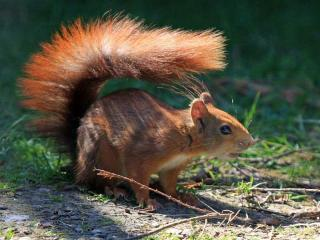 Esemplare di scoiattolo rosso