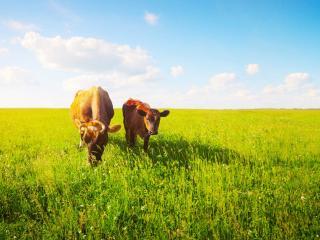 vacche al pascolo.jpg